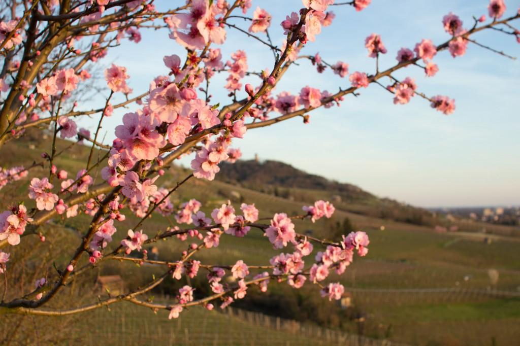 Mandelblüten Hessische Bergstraße