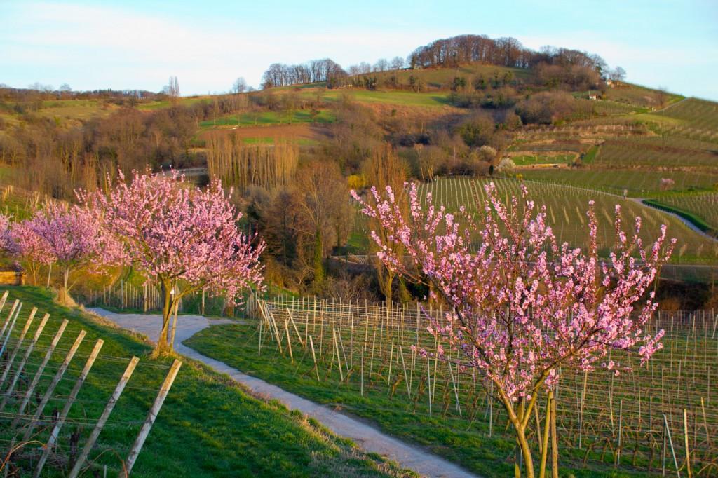 Mandelblüten Hessische Bergstraße 3